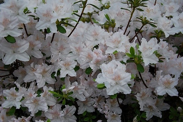 Rhododendron 'Andrzej' (R)