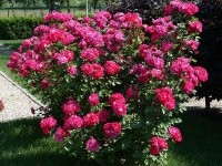 Rosa 'Belle Province'®